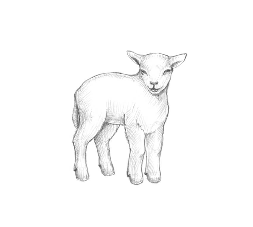 sketch of a sheep how to draw a sheep draw central of sheep a sketch