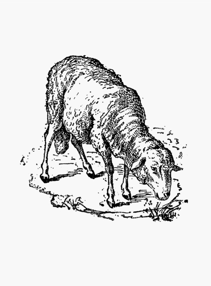 sketch of a sheep how to draw a sheep draw central sketch sheep a of