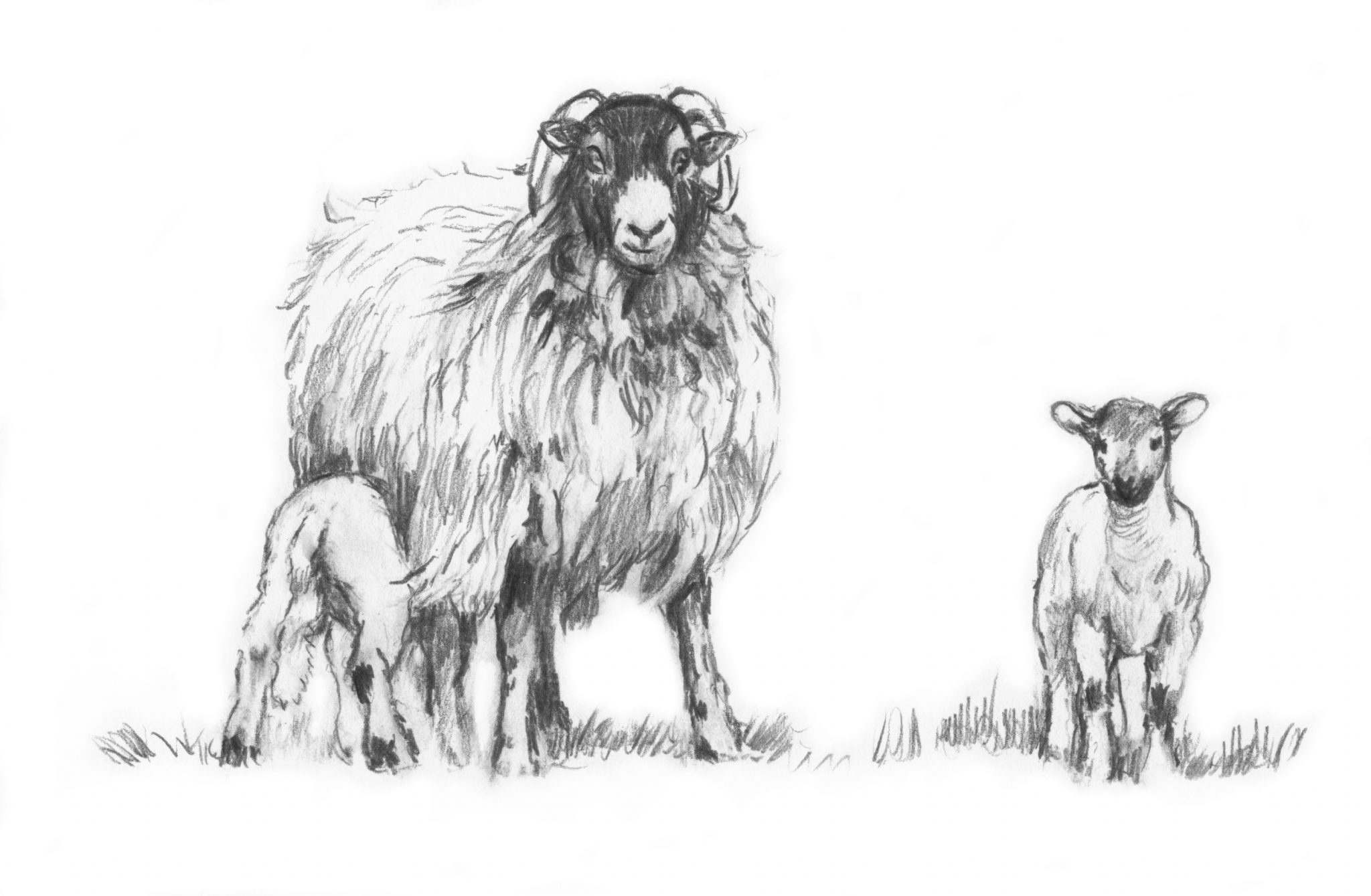 sketch of a sheep sheep line drawing free download on clipartmag sheep a of sketch