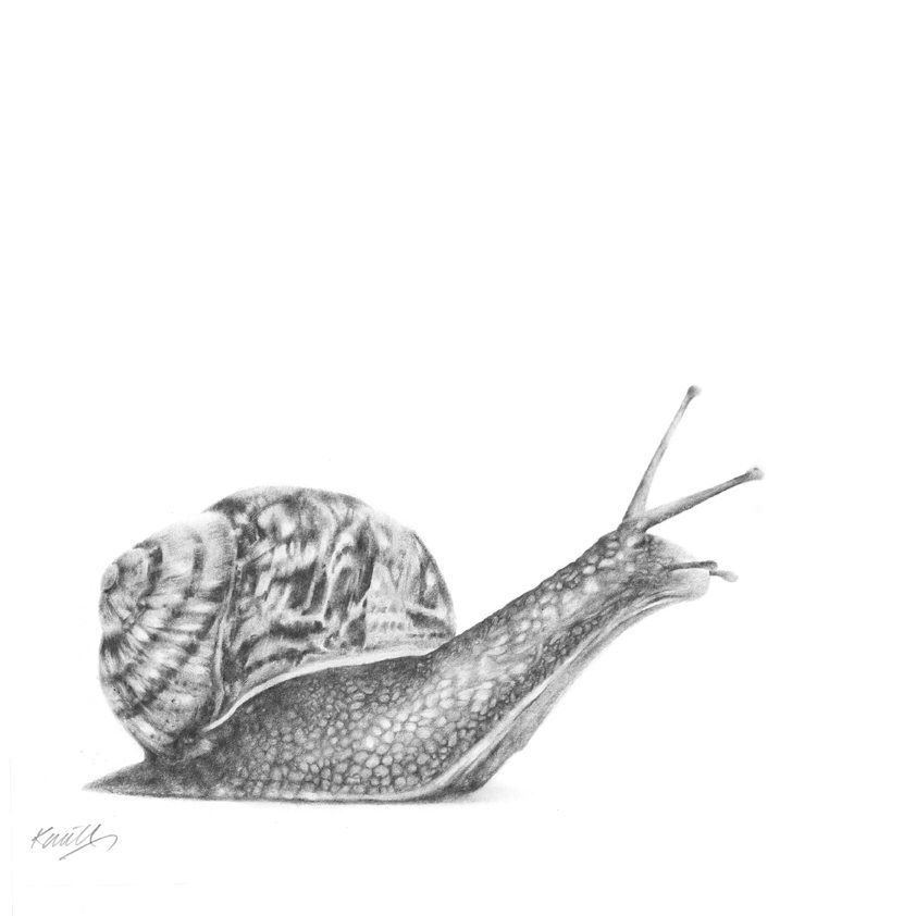 snail drawing apple snail pencil drawing how to sketch apple snail drawing snail