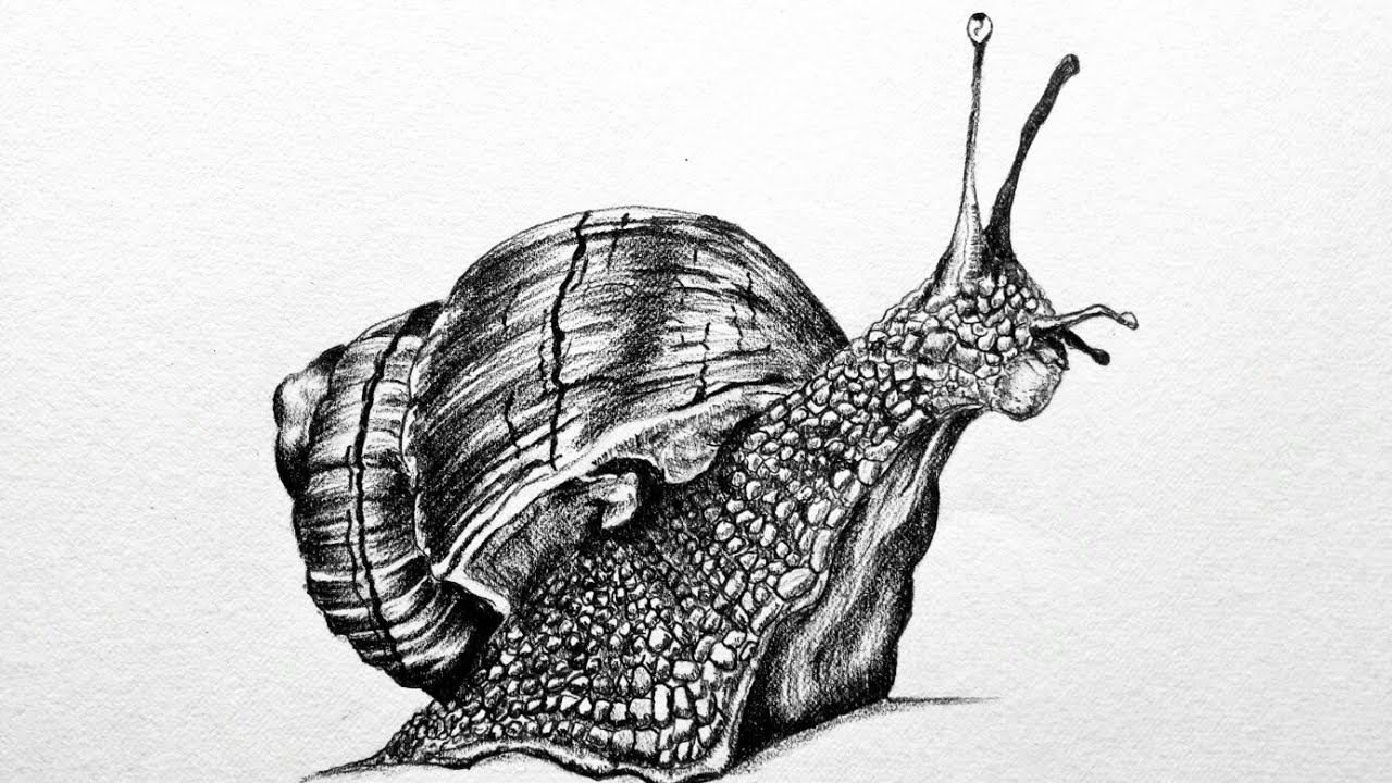 snail drawing learning ideas grades k 8 how to draw mollusks snails drawing snail