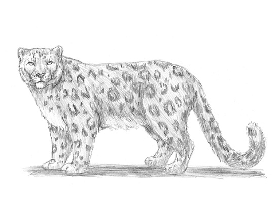 snow leopard outline drawn leopard black and white pencil and in color drawn leopard snow outline