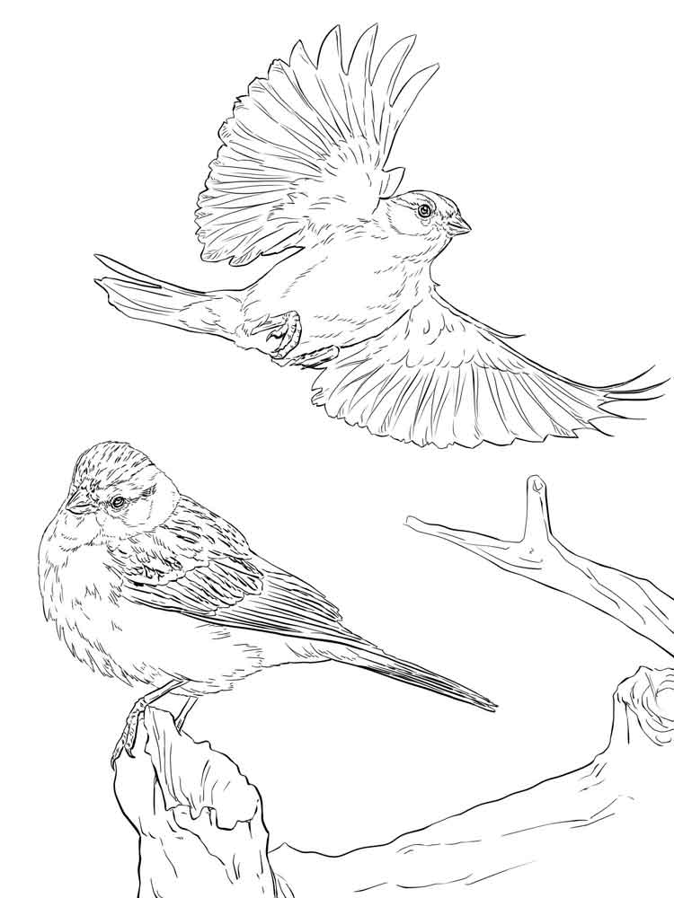 sparrow coloring page sparrow coloring pages download and print sparrow coloring sparrow page 1 1