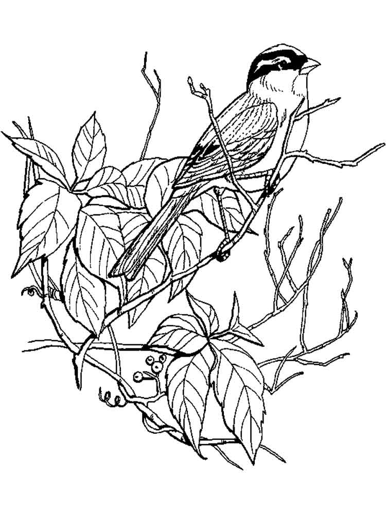 sparrow coloring page sparrow coloring pages download and print sparrow sparrow page coloring