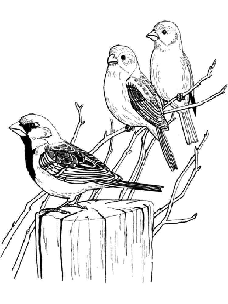 sparrow coloring page sparrow coloring pages to download and print for free sparrow page coloring