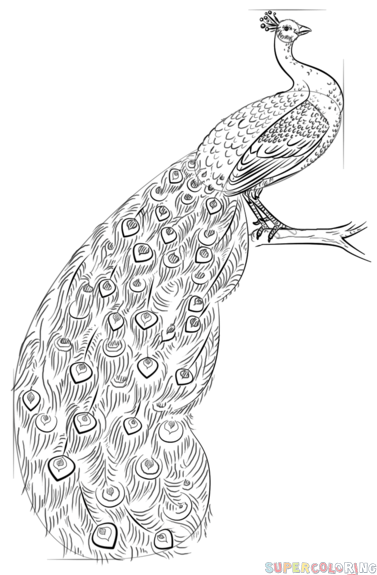 step by step how to draw a peacock step by step drawing a peacock bird drawings drawing a step by to step draw how peacock