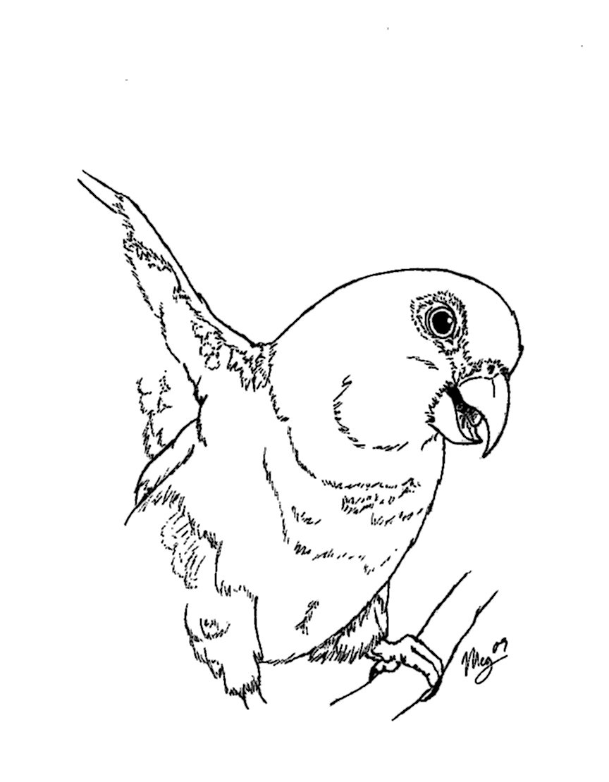 sun conure coloring page sun conure drawing at getdrawings free download conure coloring page sun 1 1