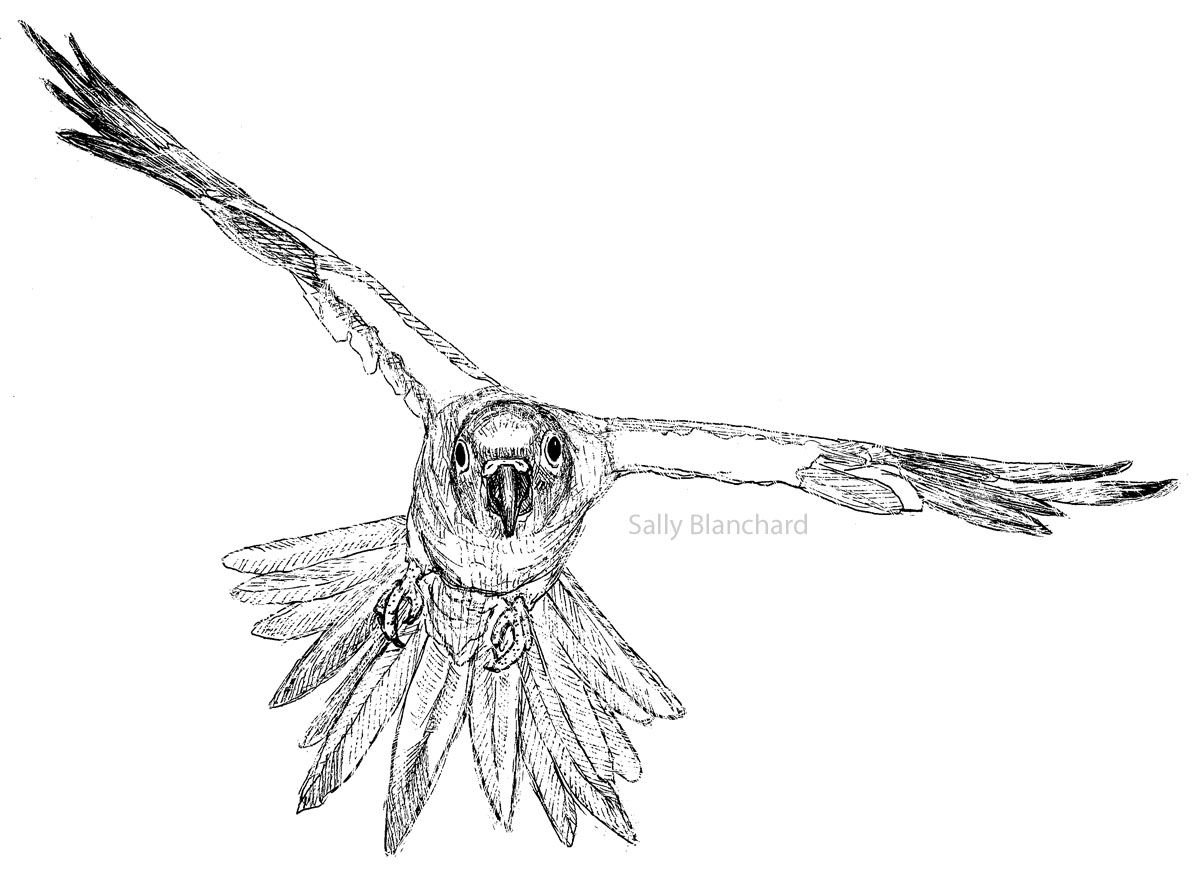 sun conure coloring page sun conure drawing at getdrawings free download page sun coloring conure