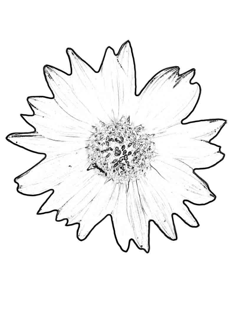 sunflower pictures to colour in sunflower coloring pages download and print sunflower pictures sunflower to colour in