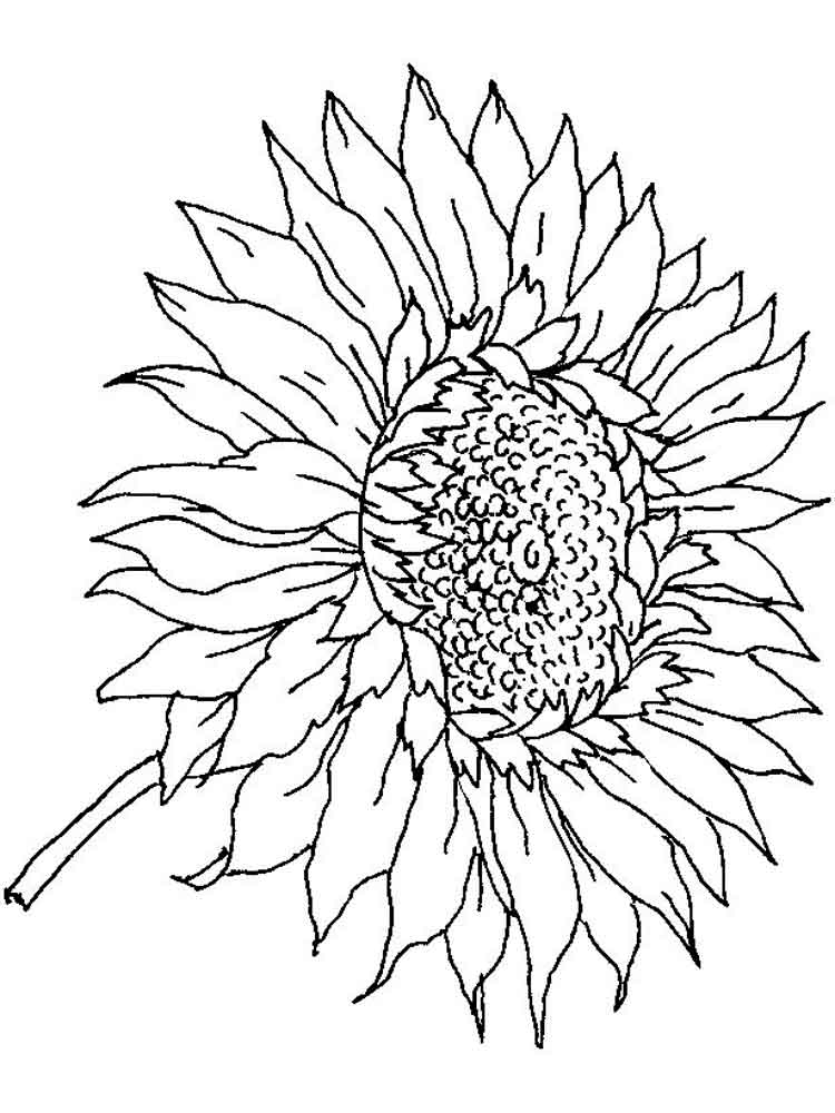 sunflower pictures to colour in sunflower coloring pages for preschoolers coloringrocks in colour pictures sunflower to