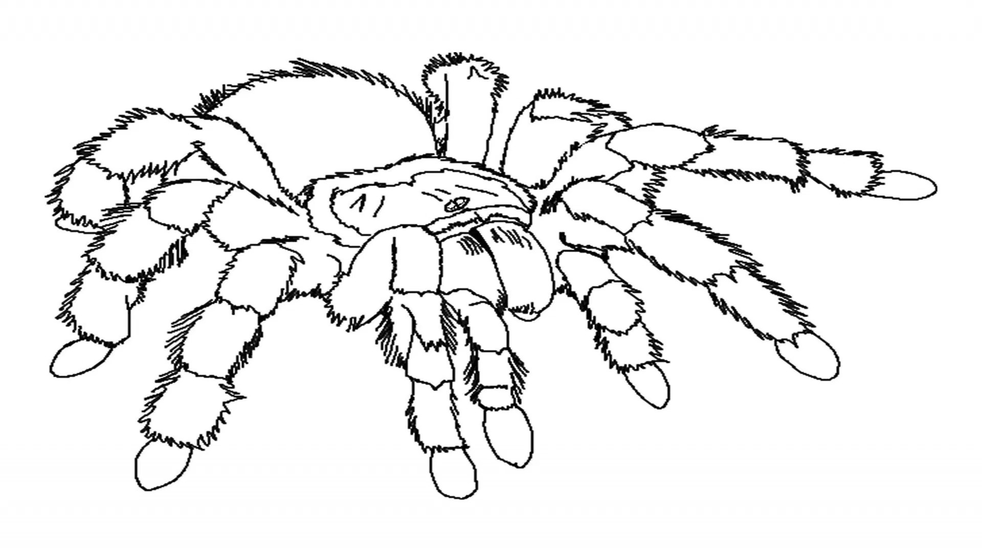 tarantula coloring pages scary spider coloring pages coloring home tarantula pages coloring