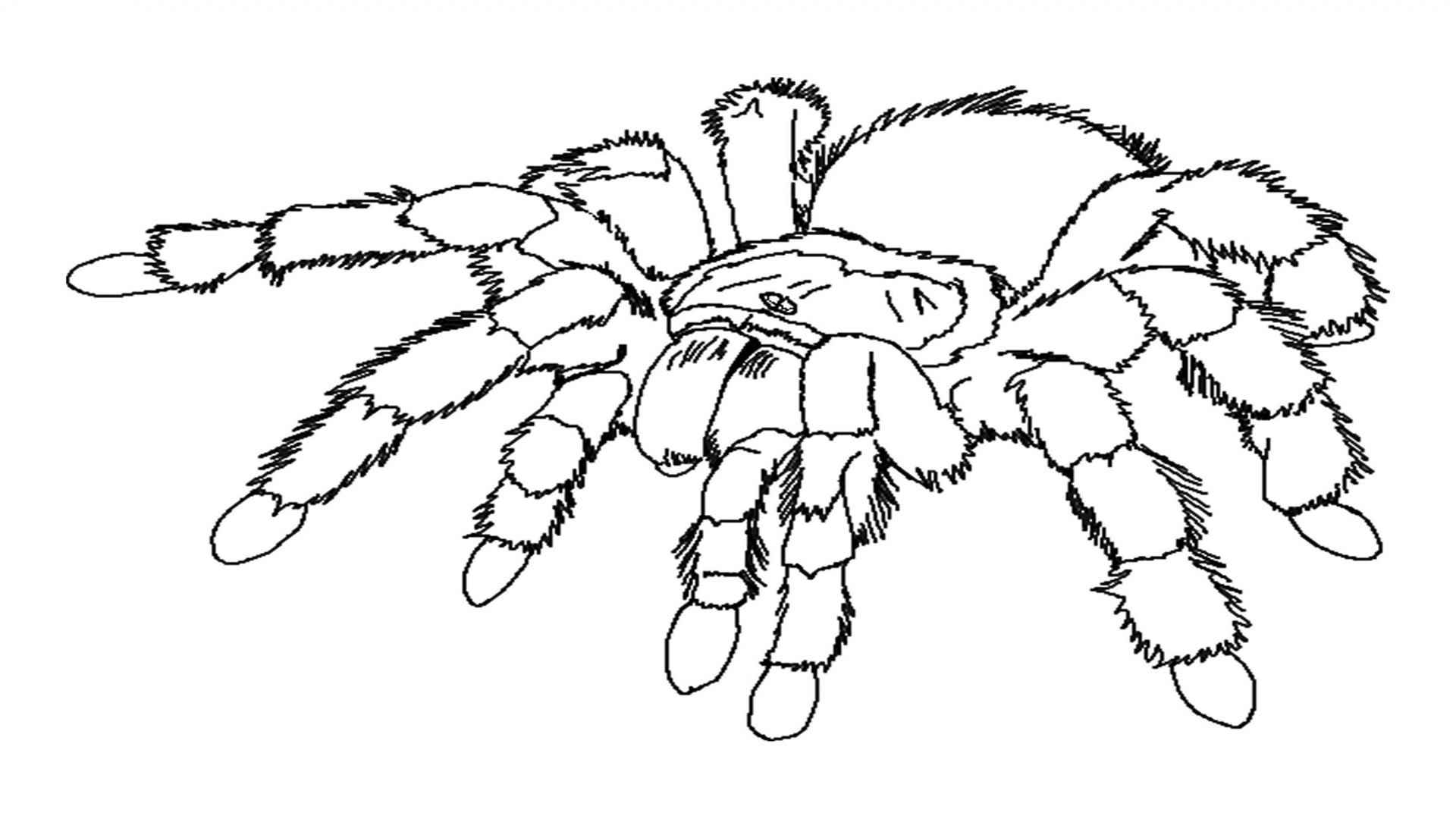 tarantula coloring pages spider coloring pages to download and print for free pages coloring tarantula