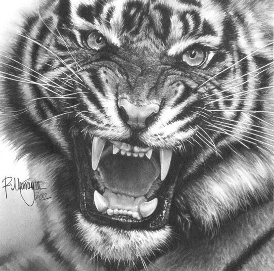 tiger drawing 24 best pencil drawing animals images on pinterest tiger drawing
