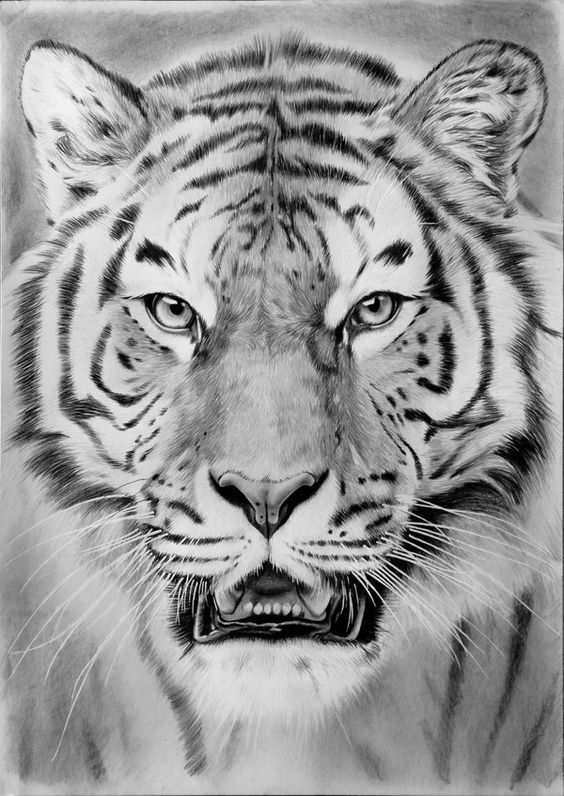 tiger drawing 75 best my drawings images on pinterest my drawings tiger drawing