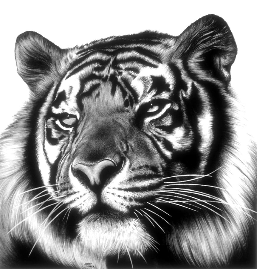 tiger drawing tiger face drawing by jerry winick drawing tiger