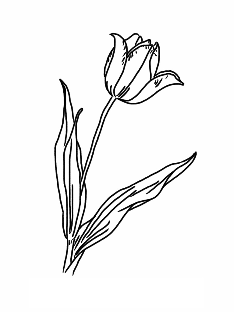 tulip flower coloring pages tulip flower coloring pages tulip flower coloring pages