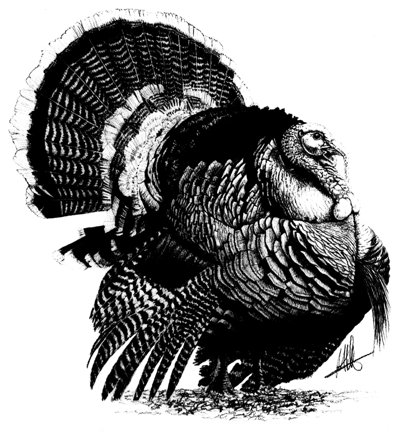 turkey drawing items similar to 8x10 wild turkey pen drawing hunter drawing turkey