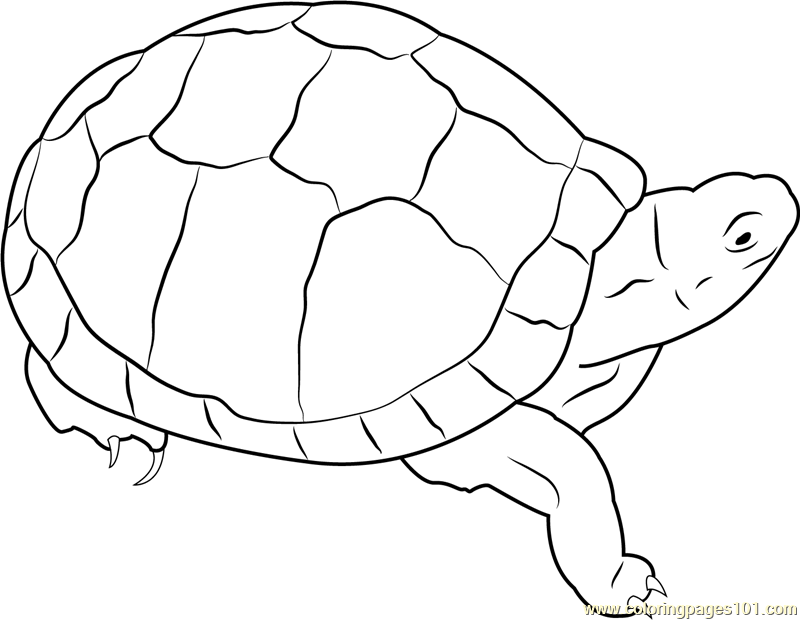turtle coloring images box turtle coloring page at getcoloringscom free images coloring turtle