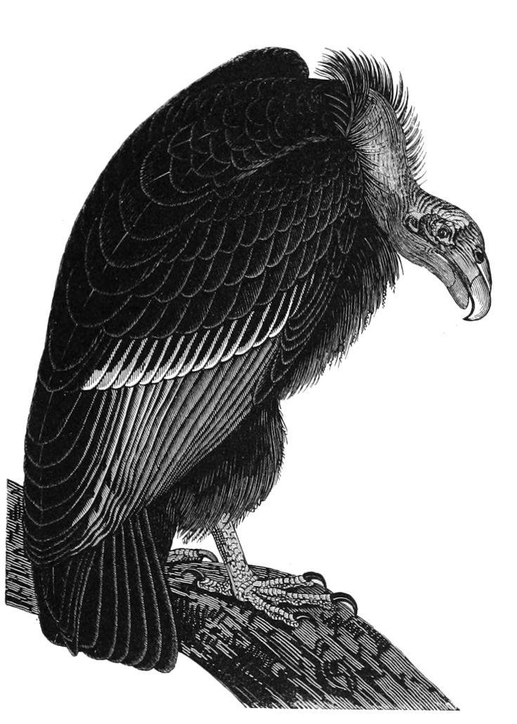 vulture silhouette 127 best images about vector para sticker on pinterest vulture silhouette