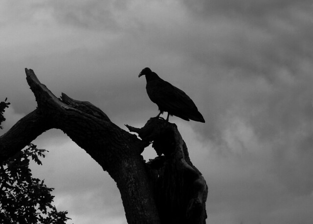 vulture silhouette vulture silhouette flickr photo sharing vulture silhouette