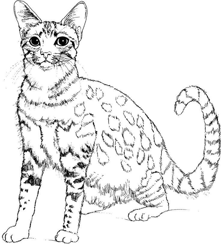 wild cat coloring pages wild cat colouring pages clipart best wild pages cat coloring
