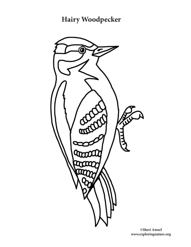 woodpecker coloring page backyard animals and nature coloring books free coloring coloring woodpecker page
