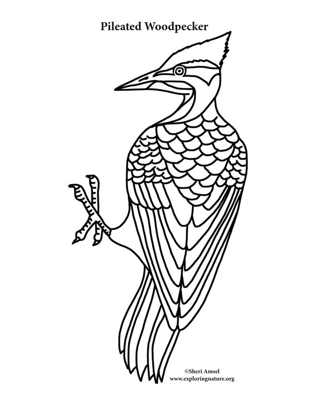woodpecker coloring page woodpecker coloring pages download and print woodpecker page woodpecker coloring