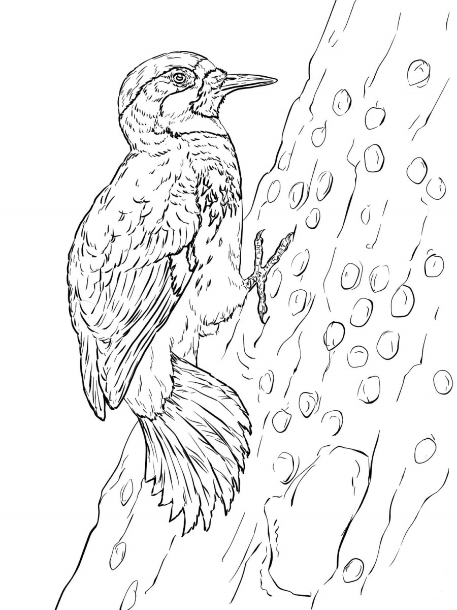 woodpecker coloring page woody woodpecker coloring pages page coloring woodpecker