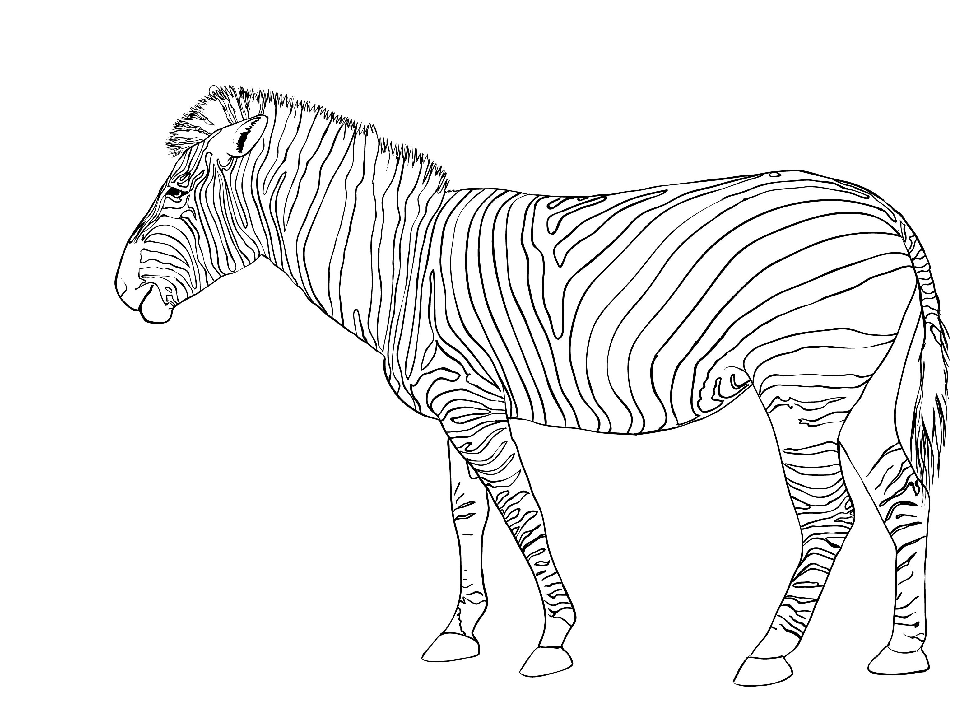 zebra colouring pages to print zebra coloring pages free printable kids coloring pages pages zebra print to colouring