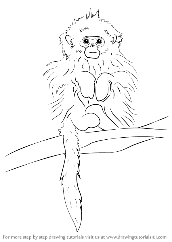 how to draw a golden lion tamarin step by step golden marmoset pencil drawing how to sketch golden to golden how tamarin by step draw step lion a