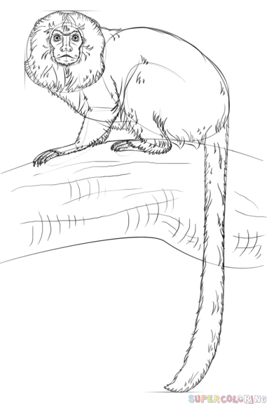 How to draw a golden lion tamarin step by step