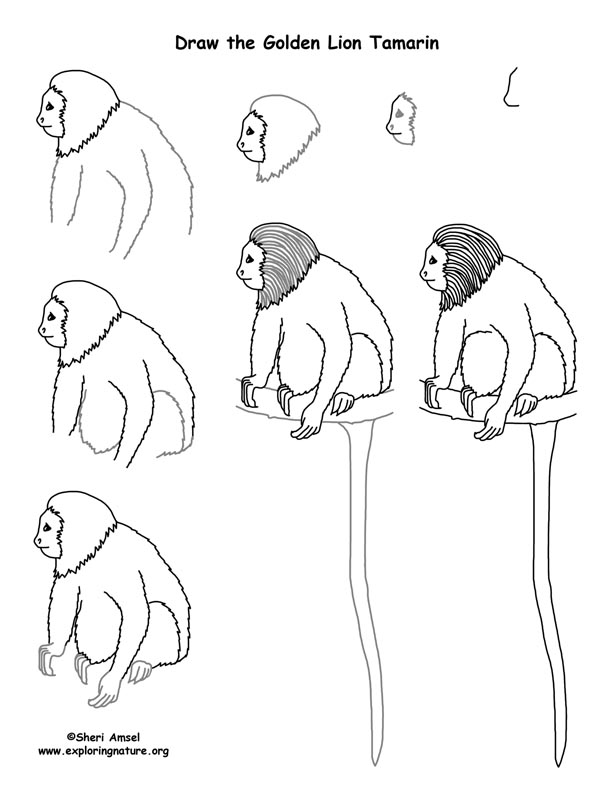 how to draw a golden lion tamarin step by step learn how to draw a golden lion tamarin for kids animals step how by golden lion a draw to step tamarin