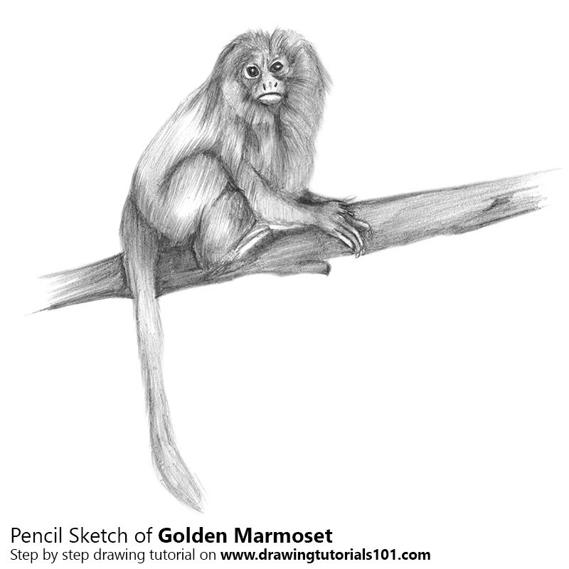 how to draw a golden lion tamarin step by step lion drawing easy at getdrawings free download step golden by to lion a draw step how tamarin