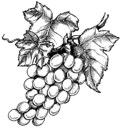 how to draw a grape grape reference on pinterest grape vines leaf drawing grape how a to draw