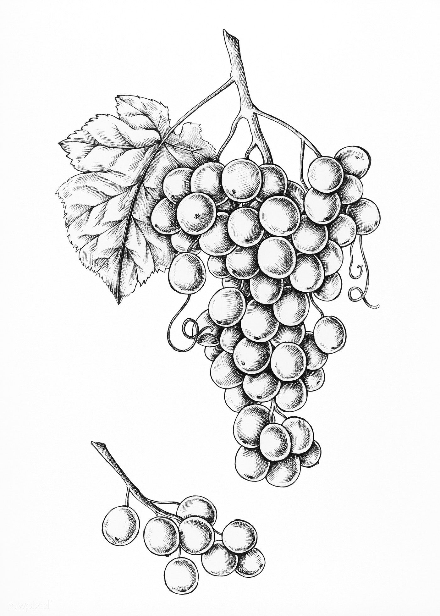 how to draw a grape the best and most comprehensive how to draw grapes step by grape draw a to how
